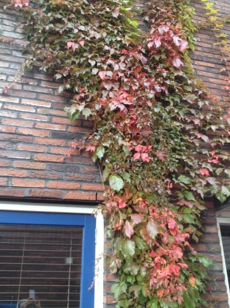 Wilde wingerd in de herfst
